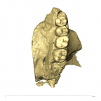 TM1517a P. robustus left maxilla