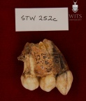 STW 252C Australopithecus africanus partial right maxilla lateral 1