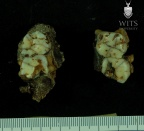 STW 53b Homo partial maxilla associated upper dentition inferior