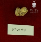 STW 83 A. africanus tooth fragment